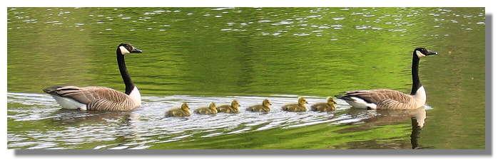 [Foto:kanadagans-familie-im-rombergpark.jpg]