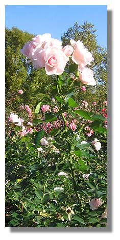 [Foto:aspirin-rose-oktober-westfalenpark.jpg]