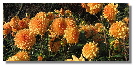 [Foto:dahlie-orange-garden-westfalenpark.jpg]