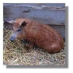 [Foto:erntemarkt-hoerde-2005-wollschweine.jpg]